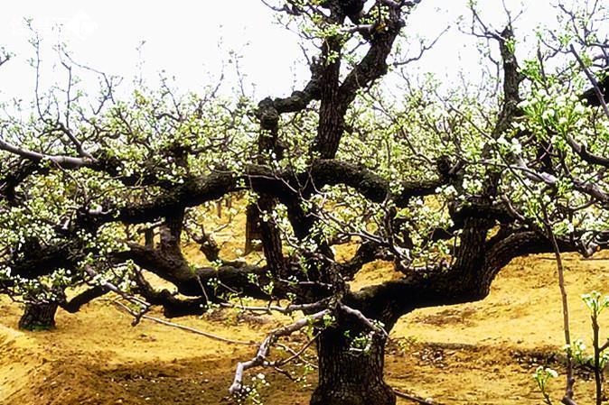 梨树盆景怎样修剪