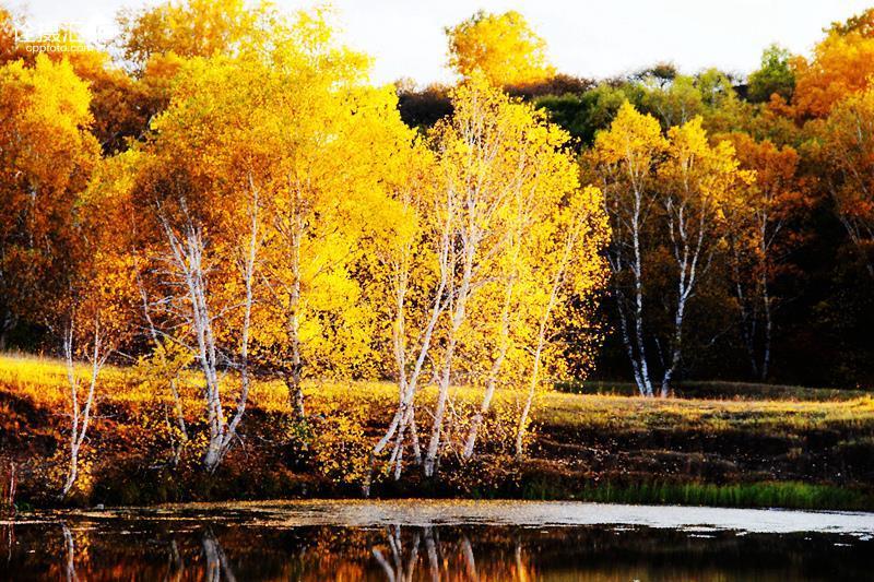 水边的白桦树