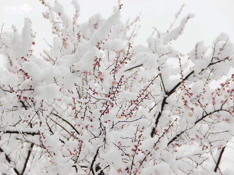 梅花树photoshop素材