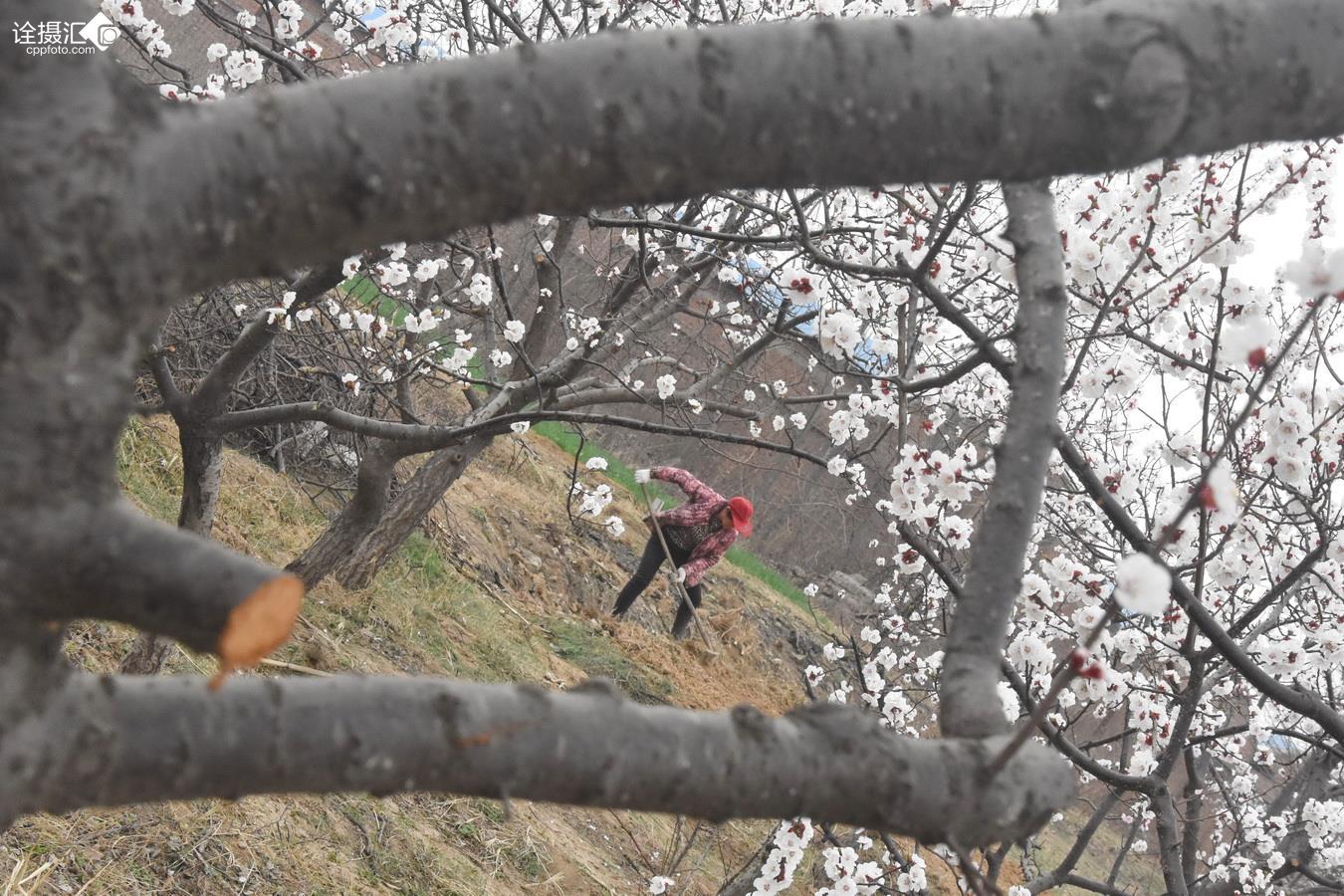 2017年3月19日,河南安阳市龙安区马投涧乡闫家河村,妩媚的杏花.