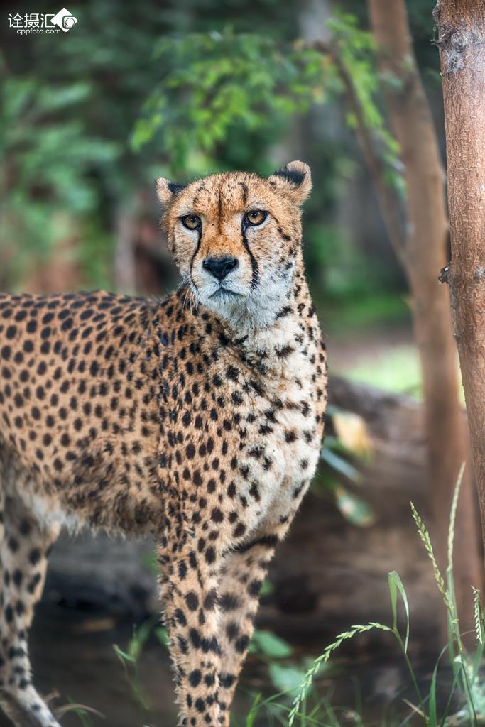 豹 豹子 壁纸 动物 桌面 683_1024 竖版 竖屏 手机