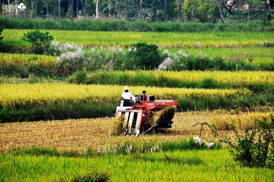 农民收割稻子 简笔画